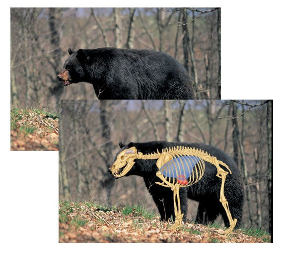 Perfect Shot North American Big-Game Targets-Black Bear