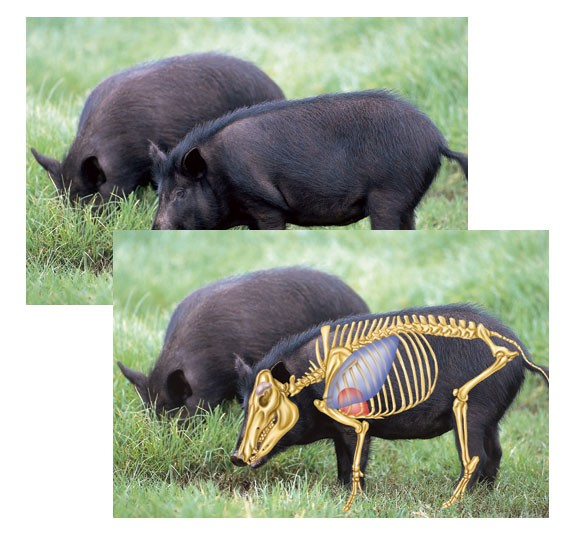 Perfect Shot North American Big-Game Targets-Feral Hog