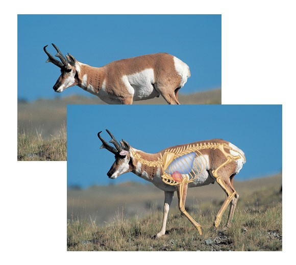 Perfect Shot North American Big-Game Targets-Pronghorn